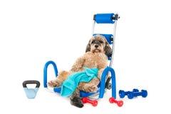 Собака в спортзале после работы на его sixpack Стоковое фото RF