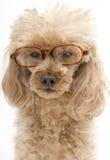 Собака в стеклах раковины черепахи Стоковые Изображения RF