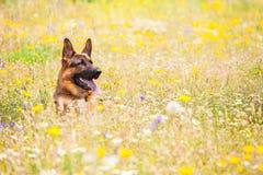 Собака в луге Стоковая Фотография