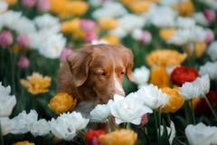Собака в цветках тюльпана Любимчик в лете в природе Toller стоковое изображение rf