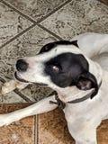 Собака в черно-белых цветах счастливых и лежа наблюдающ вас стоковое фото