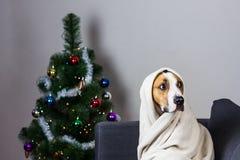 Собака в шотландке на софе перед рождественской елкой Стоковое Изображение RF