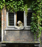 Собака в Bruge Стоковая Фотография