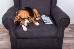 Собака в eyeglasses лежа на сером кресле с газетой Стоковые Изображения RF