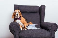 Собака в eyeglasses и бабочке сидя на сером кресле с газетой Стоковое Фото
