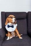 Собака в eyeglasses и бабочке сидя на сером кресле Стоковое фото RF