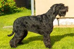 Собака гигантского шнауцера Стоковые Изображения RF