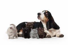 Собака Гончая собака выхода пластов с несколькими малых великобританских котят на whit Стоковое фото RF