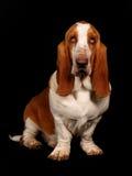 Собака гончей Basset сидя вниз Стоковые Фото