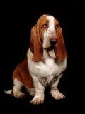 Собака гончей Basset сидя вниз Стоковое Изображение