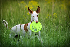 Собака гончей Ibizan Стоковое Фото