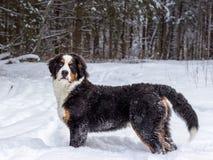 Собака горы Стоковая Фотография RF