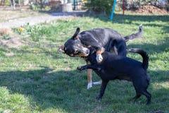 Собака горы Appenzeller играет с щенком смешивания Лабрадор outdoors стоковая фотография