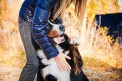 Собака горы Bernese идя в парк осени с его предпринимателем Стоковые Изображения