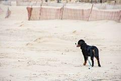 Собака горы Bernese на песке пляжа стоковое изображение