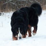 Собака горы Bernese на прогулке в парке Стоковые Фотографии RF