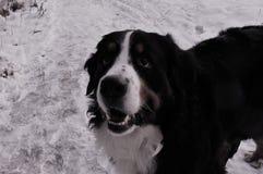 Собака горы Bernese на прогулке в парке Стоковая Фотография