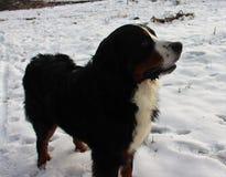 Собака горы Bernese на прогулке в парке Стоковые Изображения