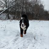 Собака горы Bernese на прогулке в парке Стоковое Фото