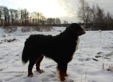 Собака горы Bernese на прогулке в парке Стоковое Изображение RF