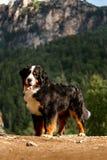 собака горы Bernese портрета красивая счастливая сидит на дороге высокие утесы на предпосылке стоковая фотография