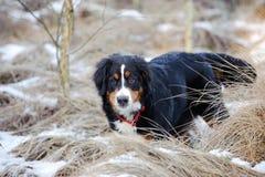 Собака горы Bernese Стоковое Изображение RF