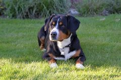 Собака горы Entlebucher, sennhund entlebucher Стоковая Фотография
