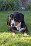 Собака горы Entlebucher, sennhund entlebucher Стоковые Изображения