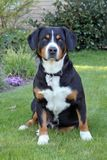 Собака горы Entlebucher, sennhund entlebucher стоковое изображение