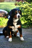 Собака горы Entlebucher, sennhund berner стоковая фотография