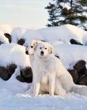 Собака горы Pyrenee Стоковые Изображения RF