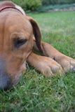 Собака готовая для сна Стоковое Изображение RF