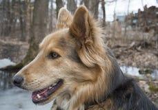 Собака головы лайки & Colley Стоковая Фотография