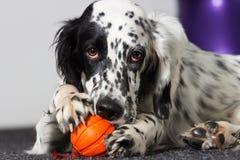 Собака грызет шарик игрушки Стоковое фото RF