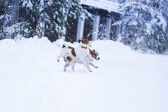 Собака Джека Рассела outdoors в зиме Стоковые Изображения