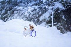 Собака Джека Рассела outdoors в зиме Стоковое Изображение RF