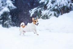 Собака Джека Рассела outdoors в зиме Стоковая Фотография RF