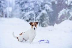 Собака Джека Рассела outdoors в зиме Стоковая Фотография