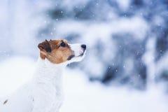 Собака Джека Рассела outdoors в зиме Стоковые Изображения RF