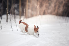 Собака Джека Рассела outdoors в зиме Стоковые Фото