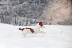 Собака Джека Рассела outdoors в зиме Стоковое Изображение