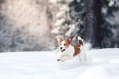 Собака Джека Рассела outdoors в зиме Стоковое фото RF