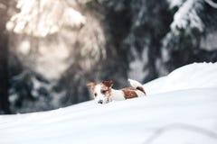 Собака Джека Рассела outdoors в зиме Стоковые Фотографии RF