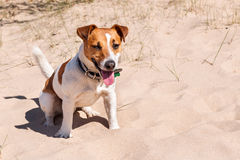 Собака Джек Рассел сидит на море Стоковые Фотографии RF