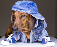 Собака джинсыов стоковые фотографии rf