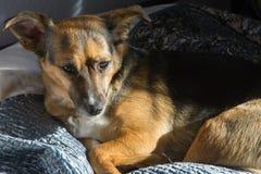 Собака, дом до одно Спать на мастерской кровати Собака шавки Стоковая Фотография