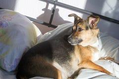 Собака, дом до одно Спать на мастерской кровати Собака шавки Стоковое Изображение RF