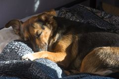 Собака, дом до одно Спать на мастерской кровати Собака шавки Стоковое фото RF