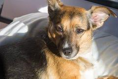 Собака, дом до одно Спать на мастерской кровати Собака шавки Стоковая Фотография RF