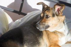 Собака, дом до одно Спать на мастерской кровати Собака шавки Стоковые Изображения